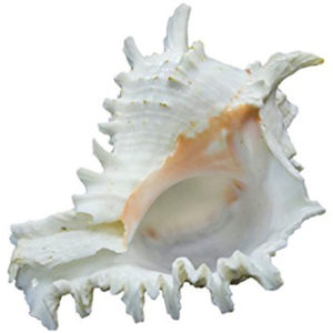 a0350-07-natural-garuda-shankh-conch-sea-shell