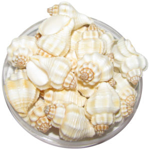 a1099-small-shankh-sea-shells-ivory-11-pieces